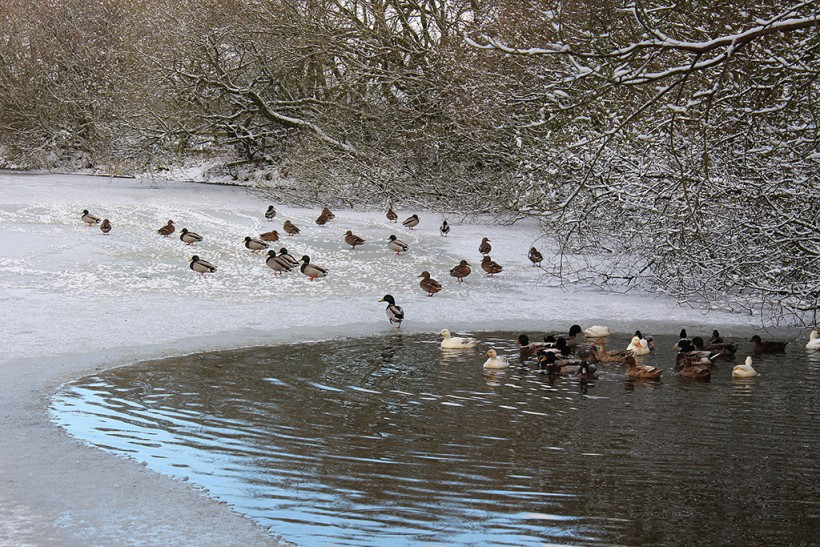 ducks at crowmere lake 2014