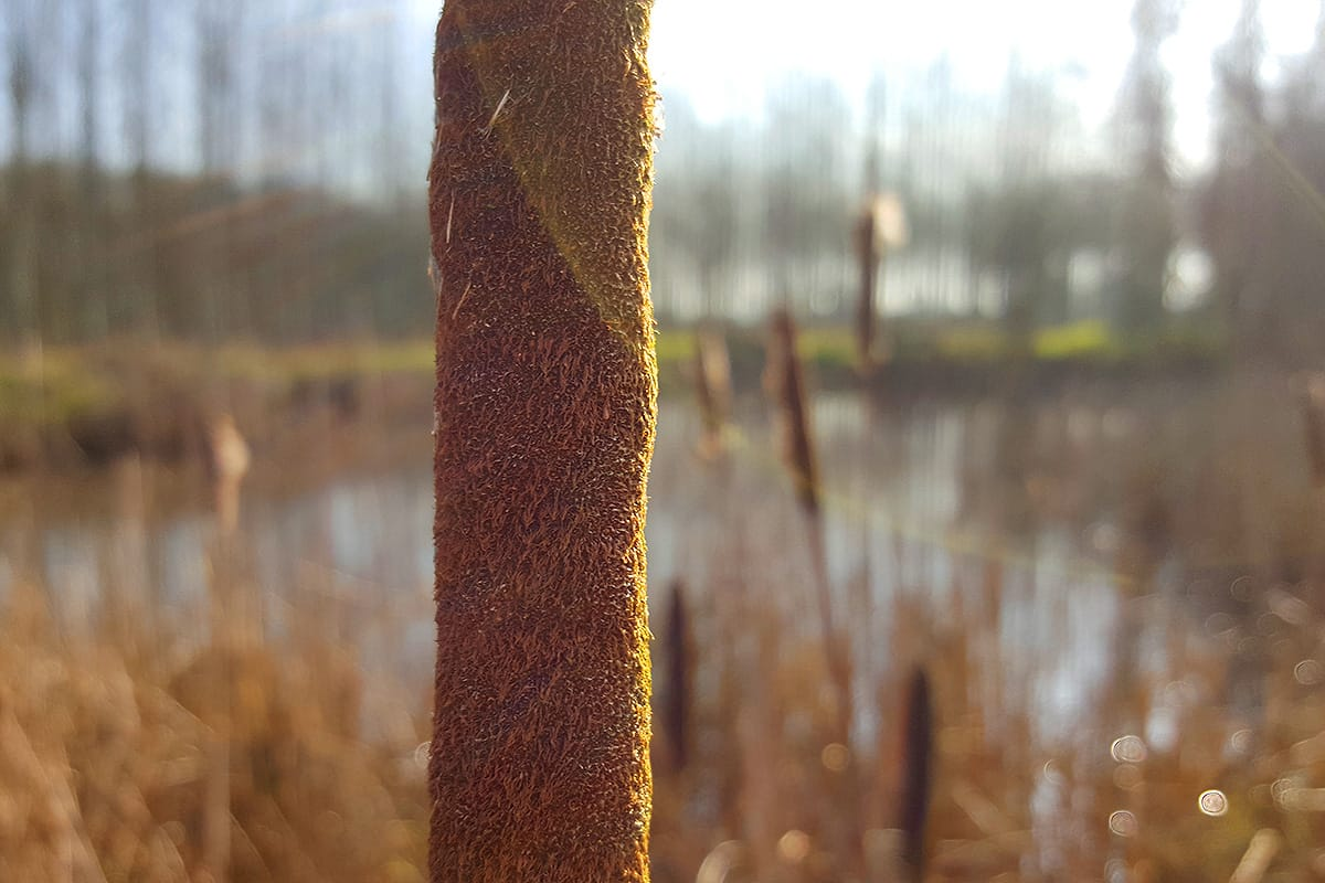 Pond Reeds at Warburtons Wood